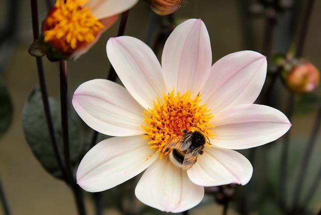 Dahlia, Bumblebee, Flower, Pollen, Bug, Garden, Summer