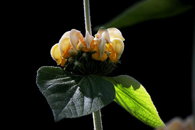 Phlomis Russeliana, Etageplant, Fire Herb, Garden