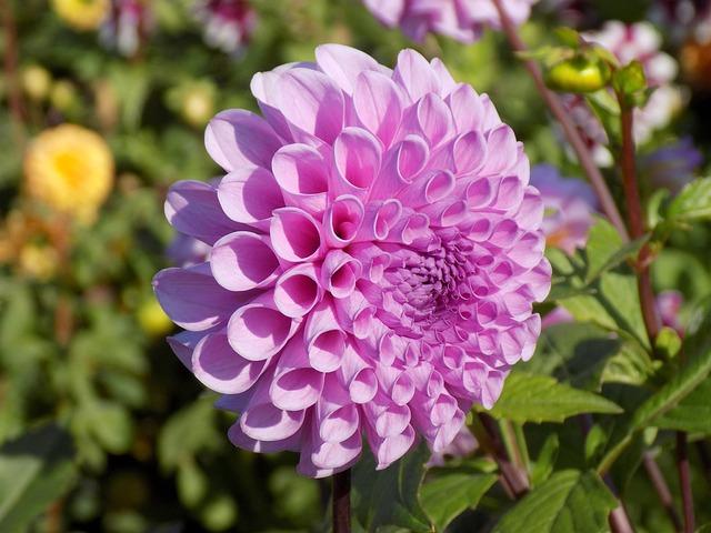 Dahlia, Flower, Botanical Garden, Plant, Garden Flower