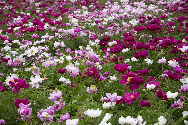 Peony Flowers, Flowers, Flower Garden, Garden, Abstract