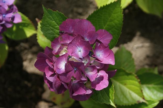 Hortensia, Garden, Flower