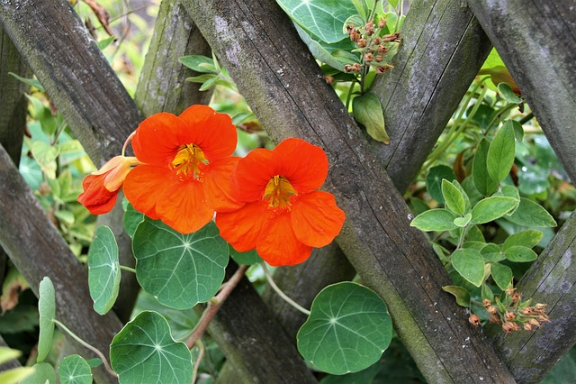 The Moat, Garden, Flower, Nasturtiums, Autumn
