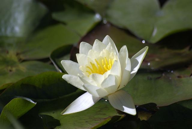 Flower, Water Lilies, Summer, Garden, White, Plant