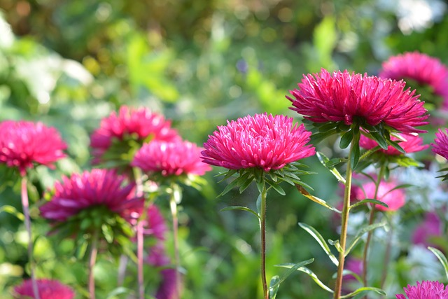 Astra, Aster, Pink, Nature, Garden, Flowers, Flowering