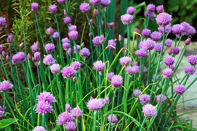 Chives, Flowers, Purple, Chive Flowers, Spring, Garden