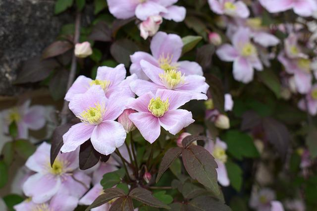Clematis, Flowers, Plants, Nature, Purple, Garden