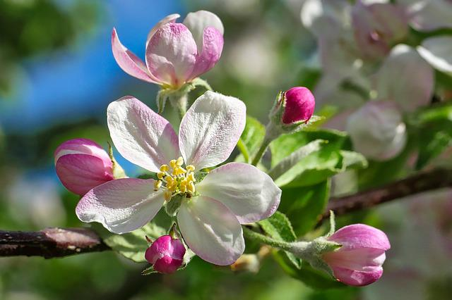 Flower, Nature, Plant, Garden, Flowers, Apple Tree