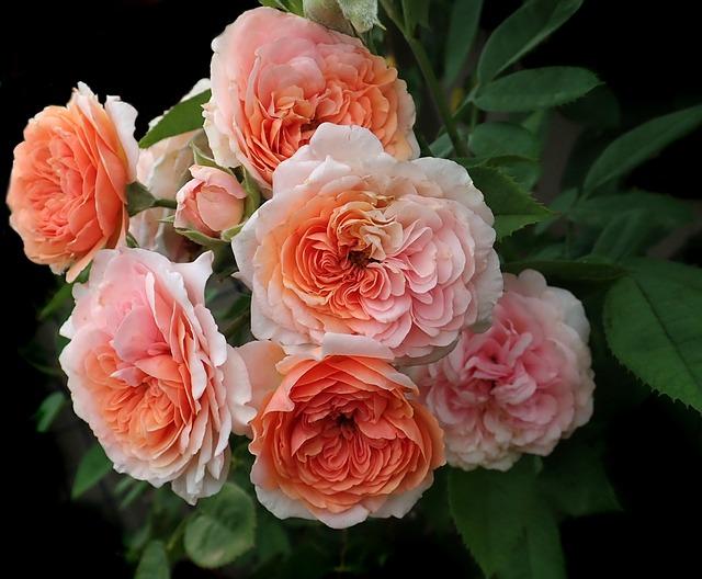 Roses, Flowers, David Austin, Leander, Garden, Nature