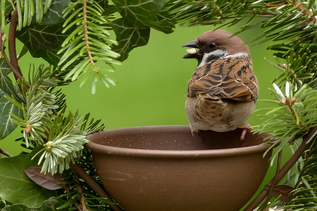 Sparrow, Passer Domesticus, Bird, Garden, Foraging