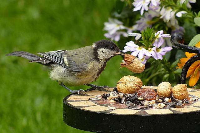 Tit, Parus Major, Bird, Young, Foraging, Peanut, Garden