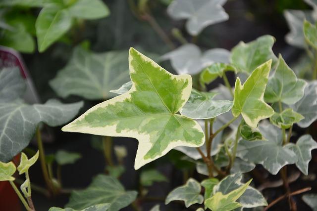 Ivy Leaf, Plant, Ivy, Nature, Garden Green Color