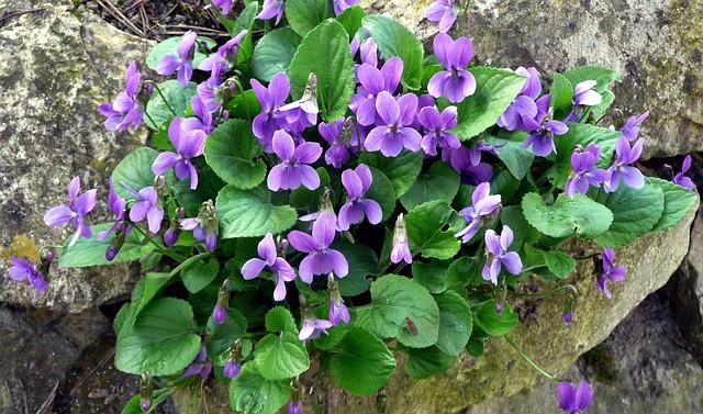 Violet, Spring, Harbinger Of Spring, Garden
