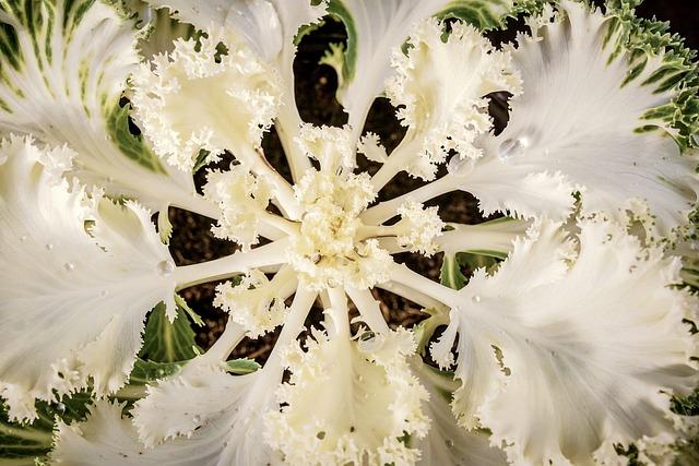 Ornamental Cabbage, Garden, Hardy