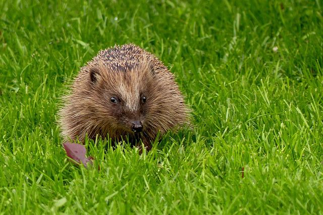 Hedgehog, Erinaceus, Animal, Hannah, Mammal, Garden
