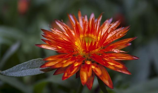Helichrysum, Italicum, Orange, Close, Garden Herbs