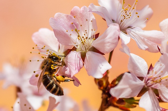 Bee, Insect, Honey Bee, Pollen, Garden, Nectar, Nature