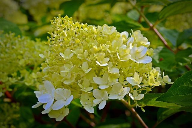 Panicle Hydrangea, Hydrangea, Flowers, Garden, Flower