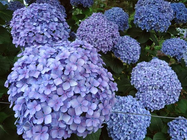 Flowers, Blue Flowers, Hydrangeas, Garden