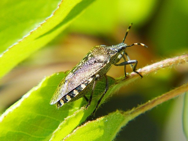Shield Bug, Bug, Insect, Macro Photo, Spotted, Garden