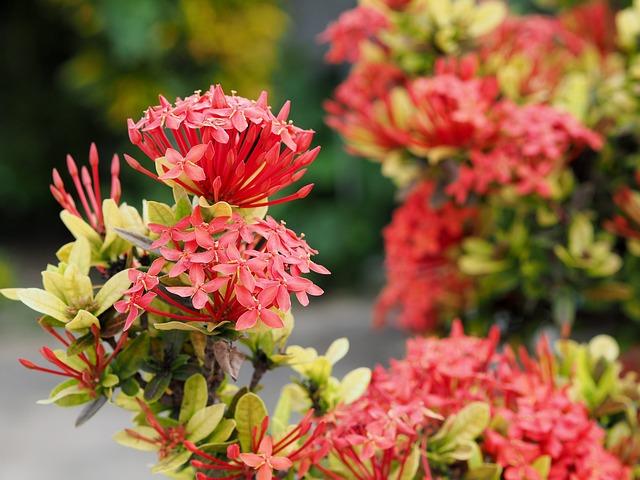 Flower, Red, Ixora, Garden, Bush, Jungle, Flowers