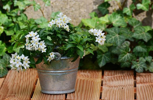 Jasmin, Solanum Jasminoides, Arrangement, Garden