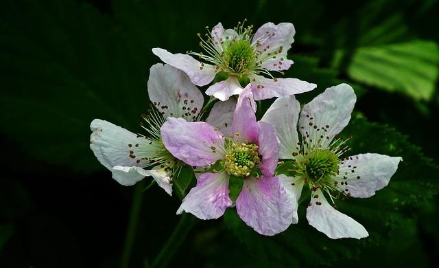Blackberry, Flowers, Macro, Garden, Bush