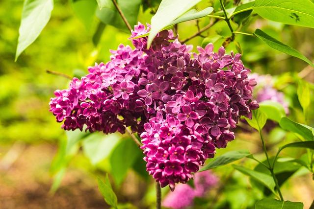 Lilac, Magenta, Flower, Garden, Nature