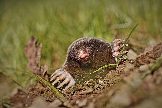Animal, Mole, Garden, Meadow, Molehill, Blind, Budeln