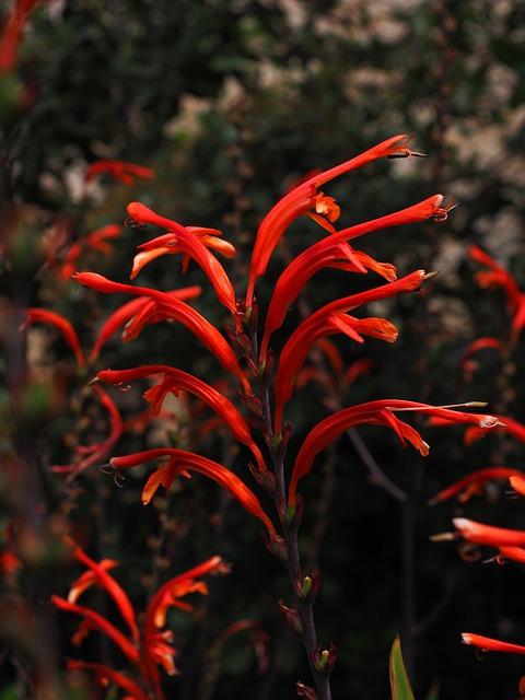 Garden Montbretia, Inflorescence, Flower, Blossom