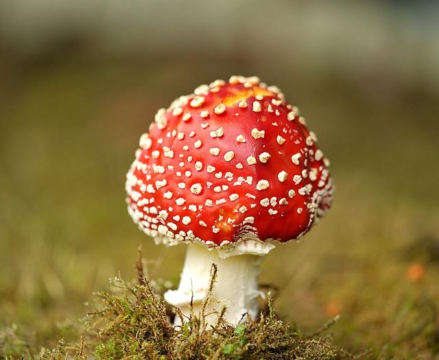 Mushroom, Fly Agaric, Garden, Moss, Grass, Toxic