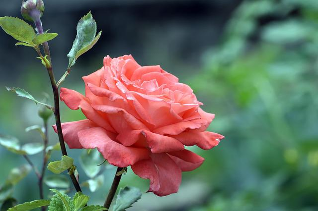 Flower, Nature, Leaf, Plant, Garden, Rosa, Red, Spring
