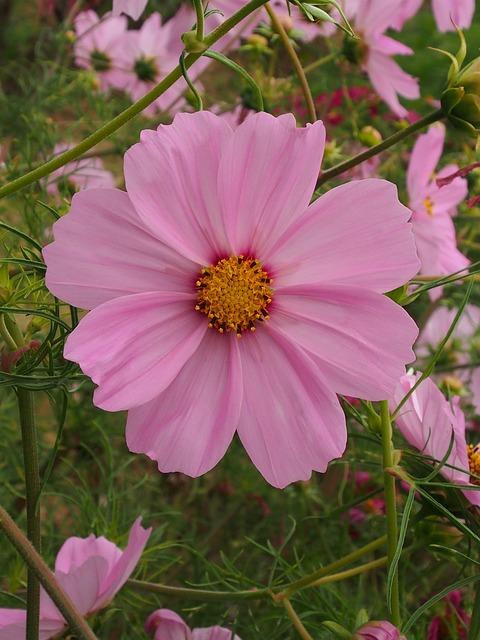 Nature, Flower, Summer, Garden, Pink