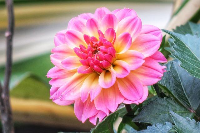 Dahlias, Flower, Nature, Plant, Garden, Petal, Bloom