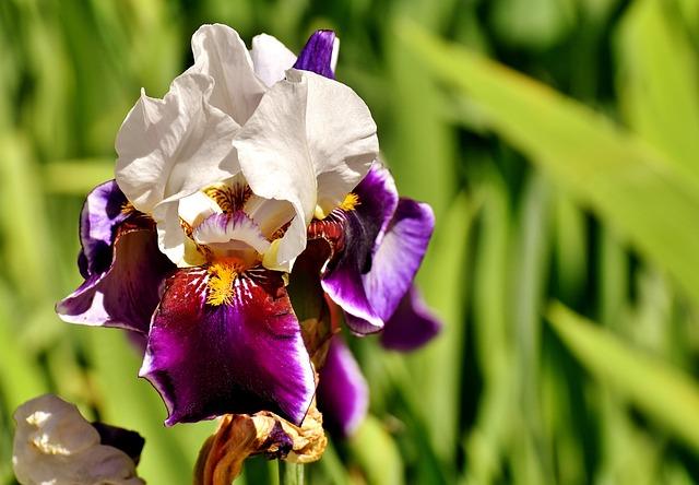Iris, Flower, Summer, Plant Yellow, Garden, Nature