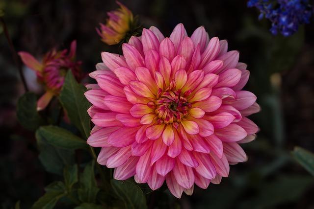 Flower, Nature, Plant, Garden, Summer, Dahlia, Pink