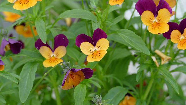 Pansy, Garden, Garden Pansy, Yellow, Violet, Nature