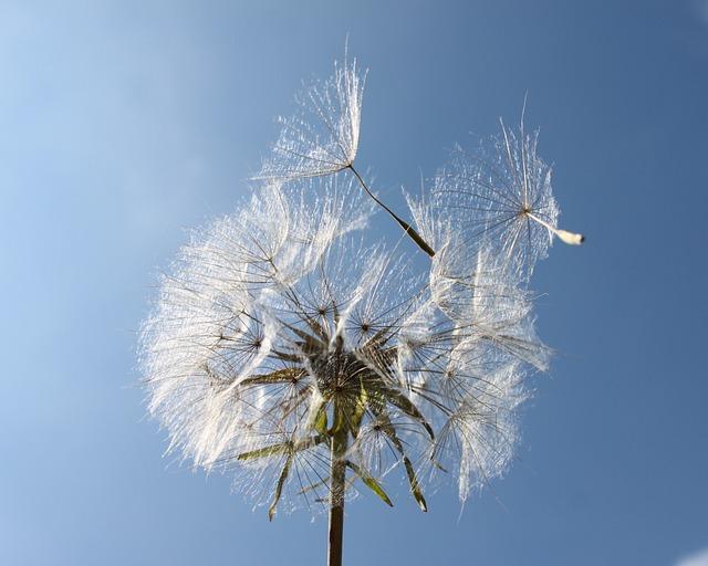 Garden, Dandelion, Lint, Seeds, Bol, Nature, Wind Blow