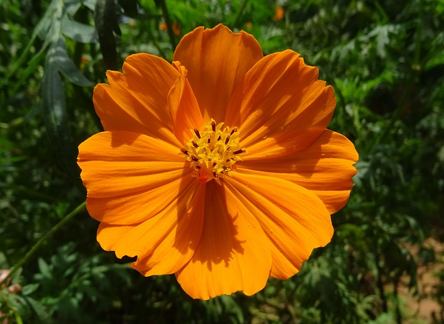 Cosmos, Golden, Flower, Flora, Garden, Orange Cosmos