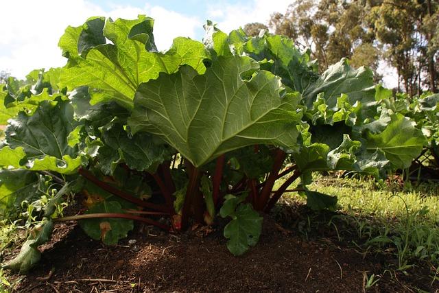 Rhubarb Plant, Garden, Rhubarb, Organic, Vegetable