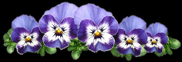 free photo garden pansies plant violas flowers