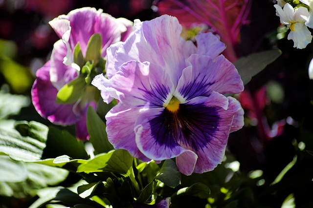 Pansy, Flower, Purple, Garden, Spring Flower Floral