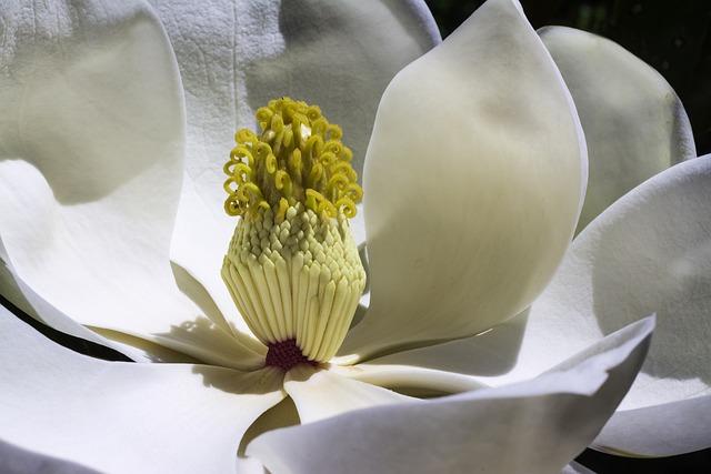 Magnolia, Flowers, Park, Spring, Garden, White Flower