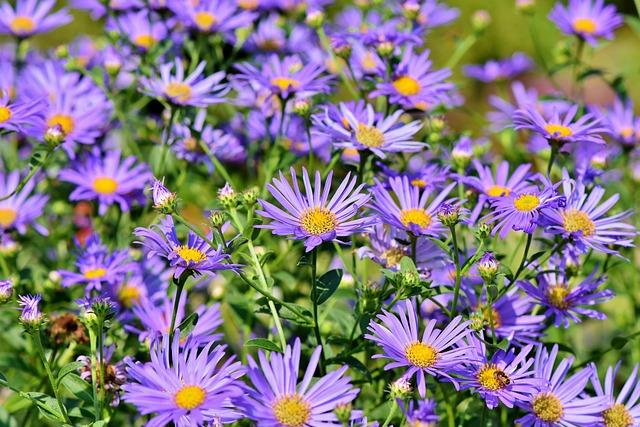 Asters, Flowers, Garden, Purple Flowers, Petals