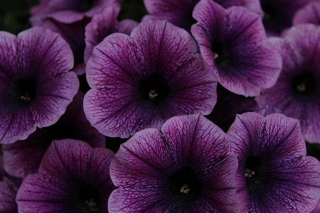 Petunia, Flowers, Purple, Flower, Garden Petunia, Close