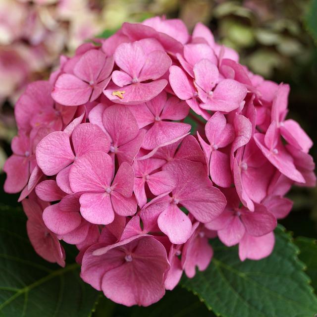 Hydrangea, Pink, Blossom, Bloom, Pink Flower, Garden