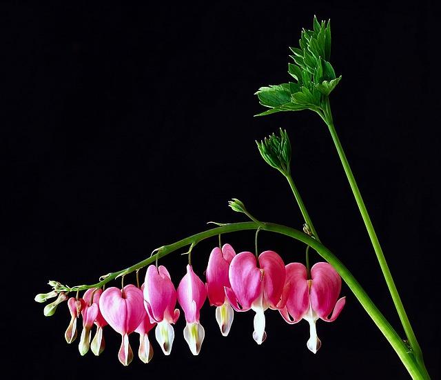 Flower, Sweetheart Plant, Blossom, Garden, Nature, Pink