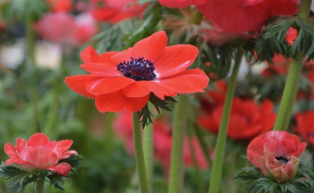 Flower, Flower Anemone Christina, Nature, Plant, Garden