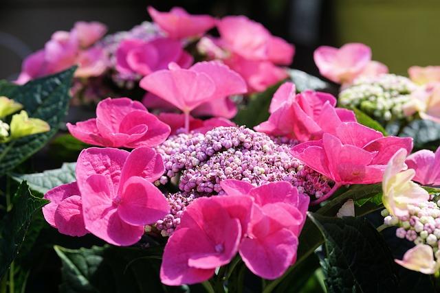 Hydrangeas, Flowers, Nature, Garden, Plant