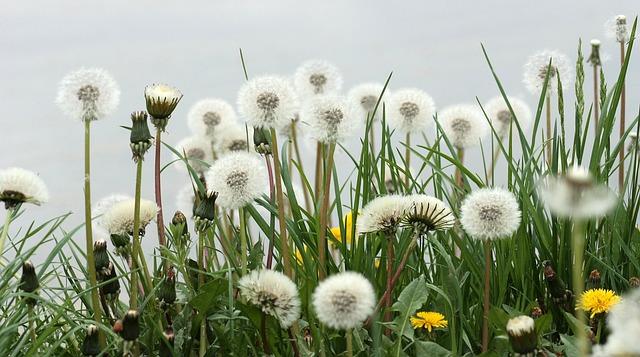 Dandelion, Down, Plant, Green, Stars, Fluffy, Garden