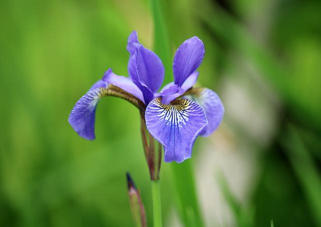 Iris, Flower, Garden, Spring, Violet, Plant, Nature